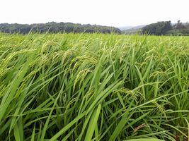 【写真】農園前の田んぼの稲穂が風に揺れている様子