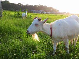 【写真】久しぶりにアランフィールドの外で草を食べるアランとポール