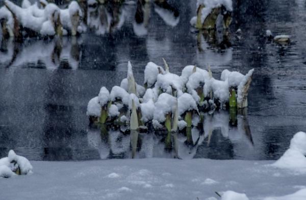 雪まみれ水芭蕉