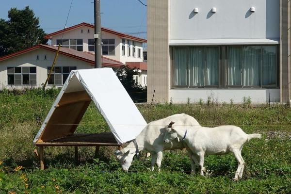 栃木医療センターのヤギ