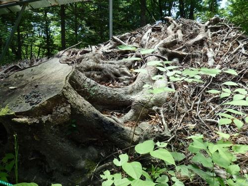 イヌブナの根