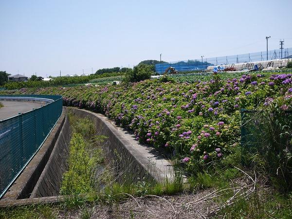 大熊川あじさい緑道