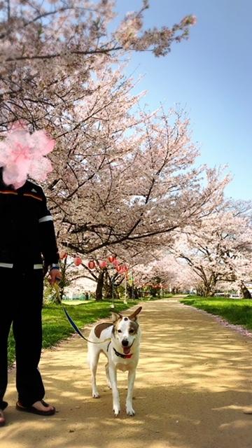 桜トンネルの下で🌸