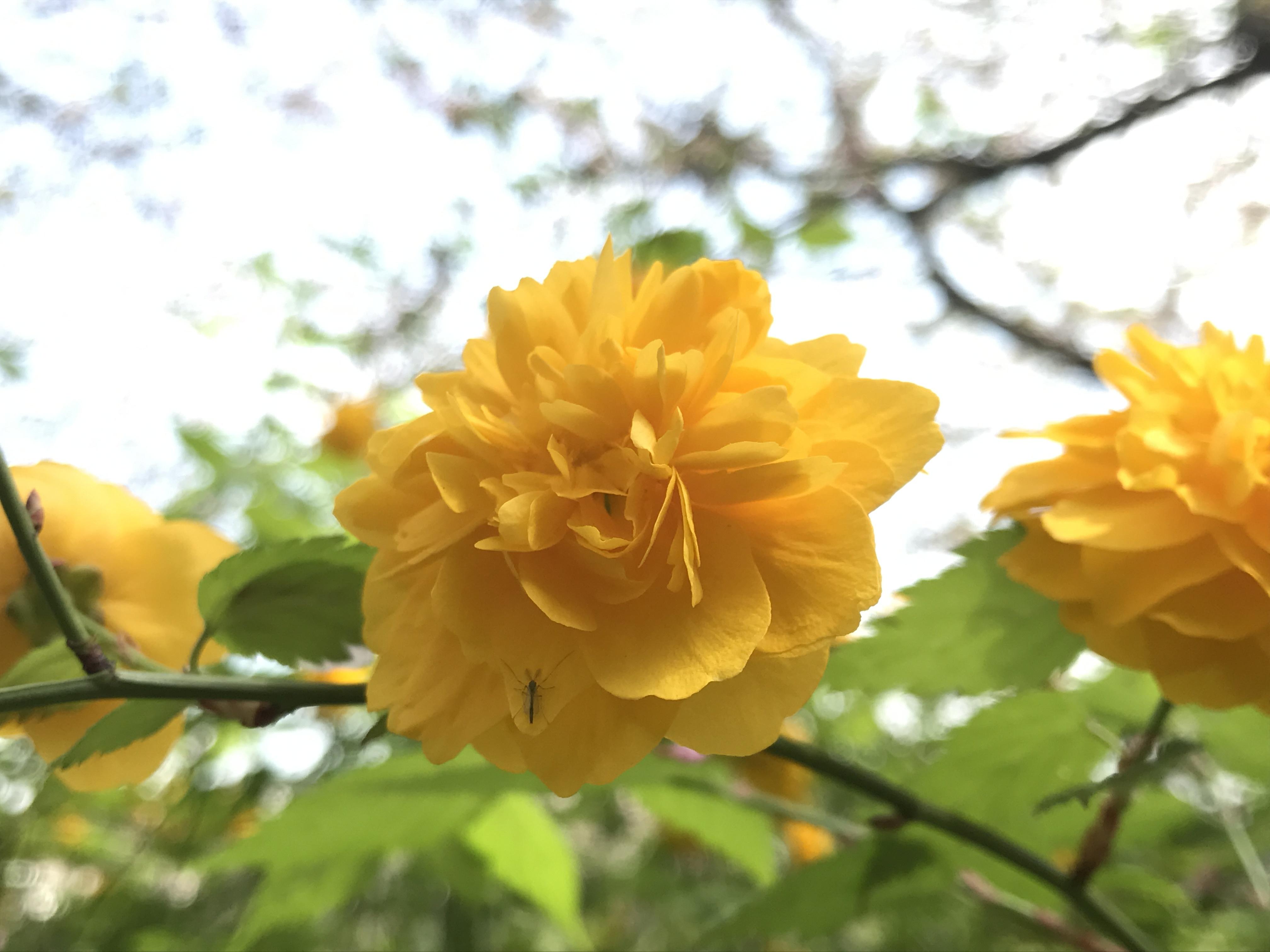 福岡に咲く