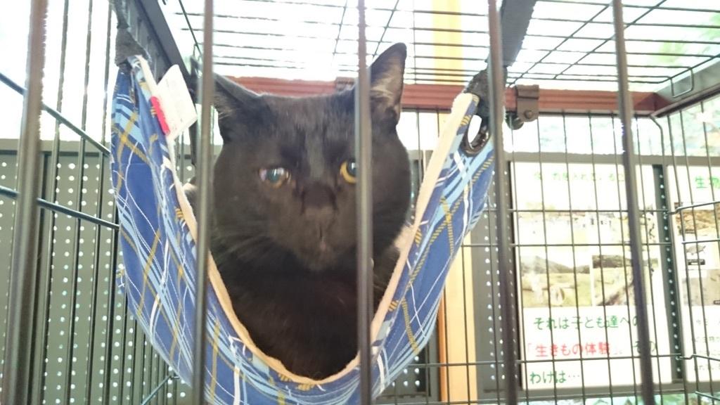 トンボ自然公園の猫館長クロちゃん😻重度の眼病を患っています😢