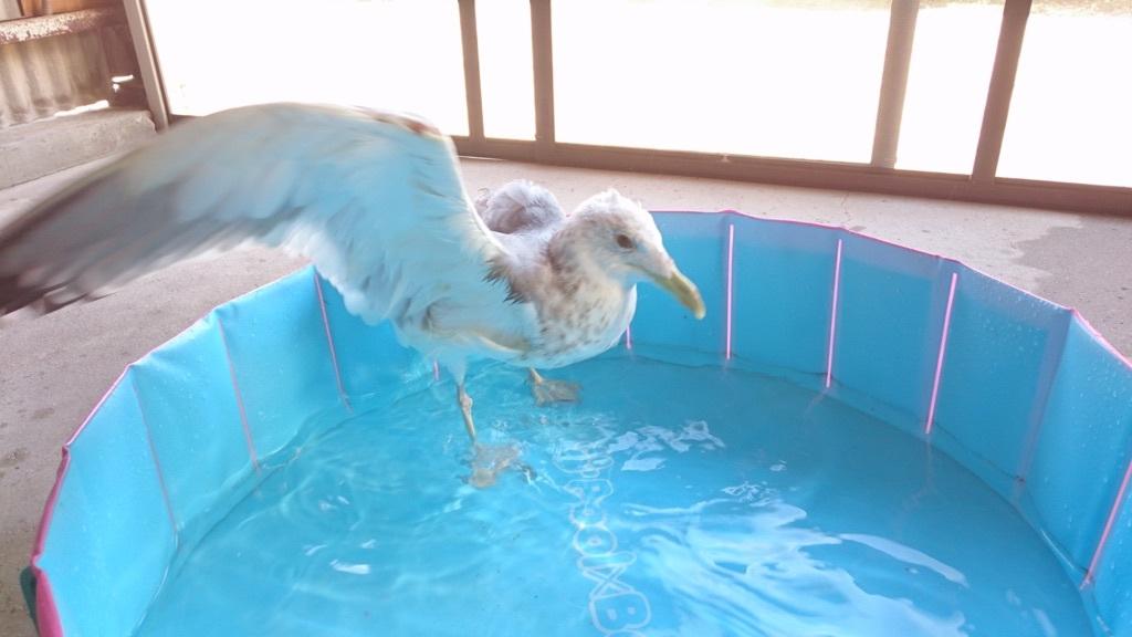 水浴びのあと、羽ばたこうとするジョナサン✨❤✨