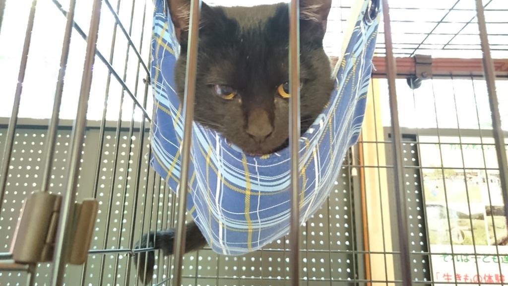 トンボ自然公園の猫館長クロちゃん😻ハンモックの上でのんびり✨❤✨
