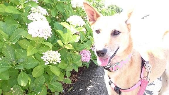 美和ちゃん③紫陽花とマリリン
