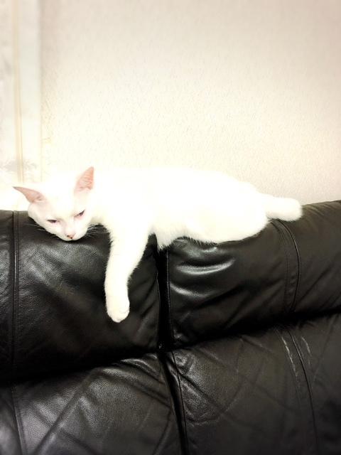 ソファの背もたれで寝るのが好きな夢のすけ😆