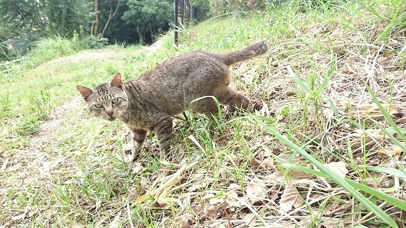 松山総合公園の猫⑤カメラ目線のキジ猫ちゃん(=^ェ^=)