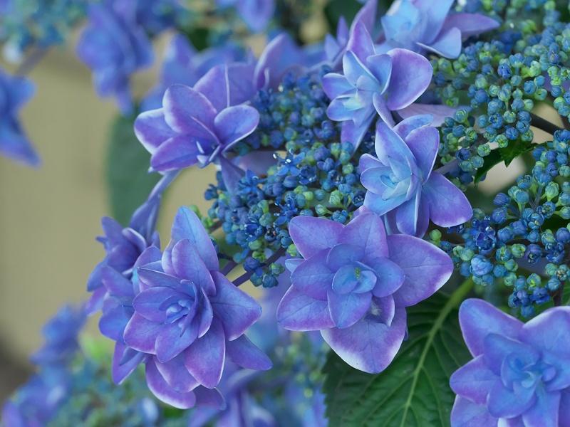 形原温泉の紫陽花 1