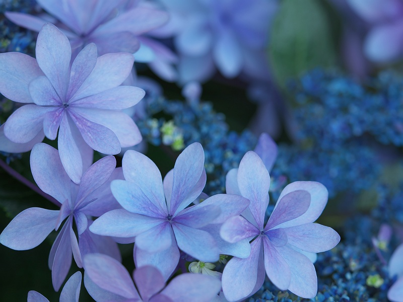 形原温泉の紫陽花 2