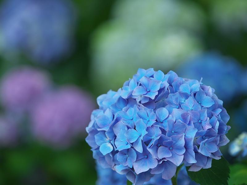 形原温泉の紫陽花 3