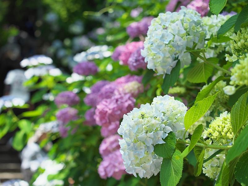 形原温泉の紫陽花 4