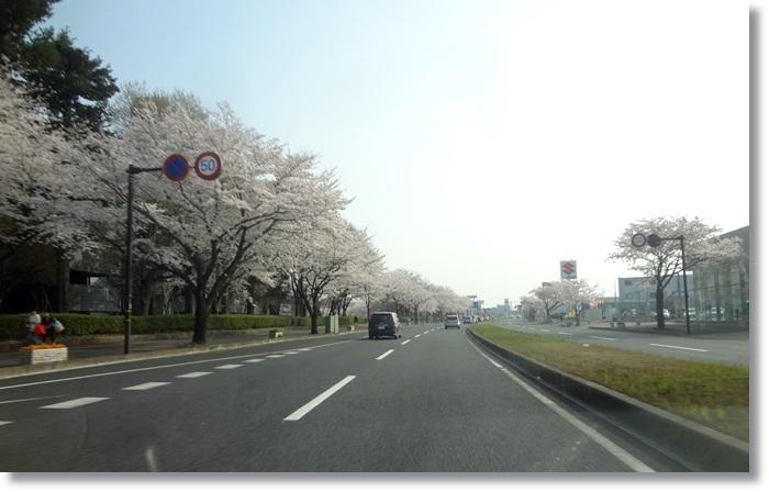 桜   DSC01257