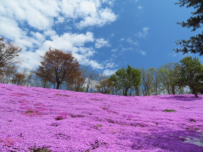 芝桜 (6)