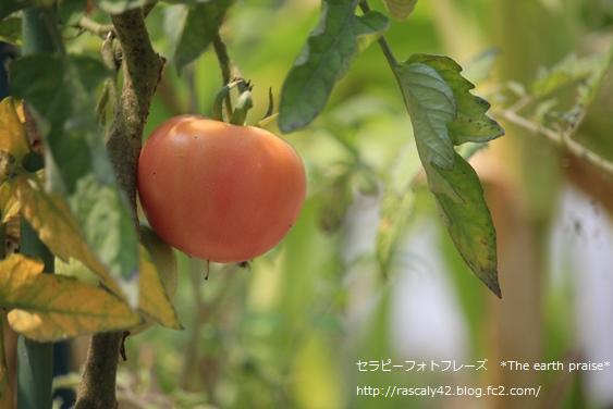 Photo therapy67 夏の光でトマトが色づくように