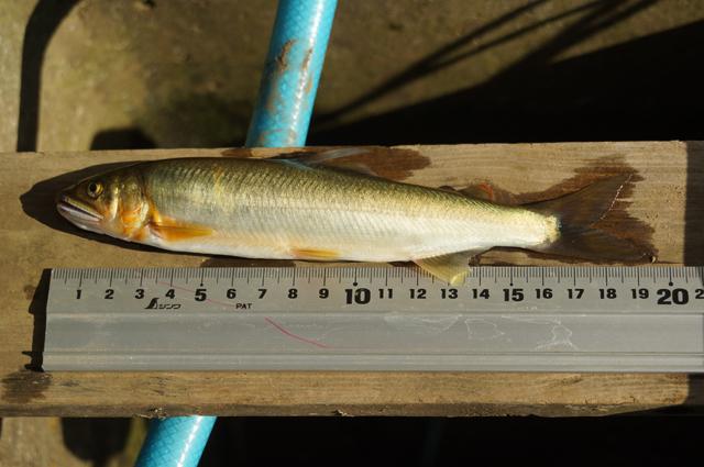多摩川で獲れた19cmほどの鮎 6月末