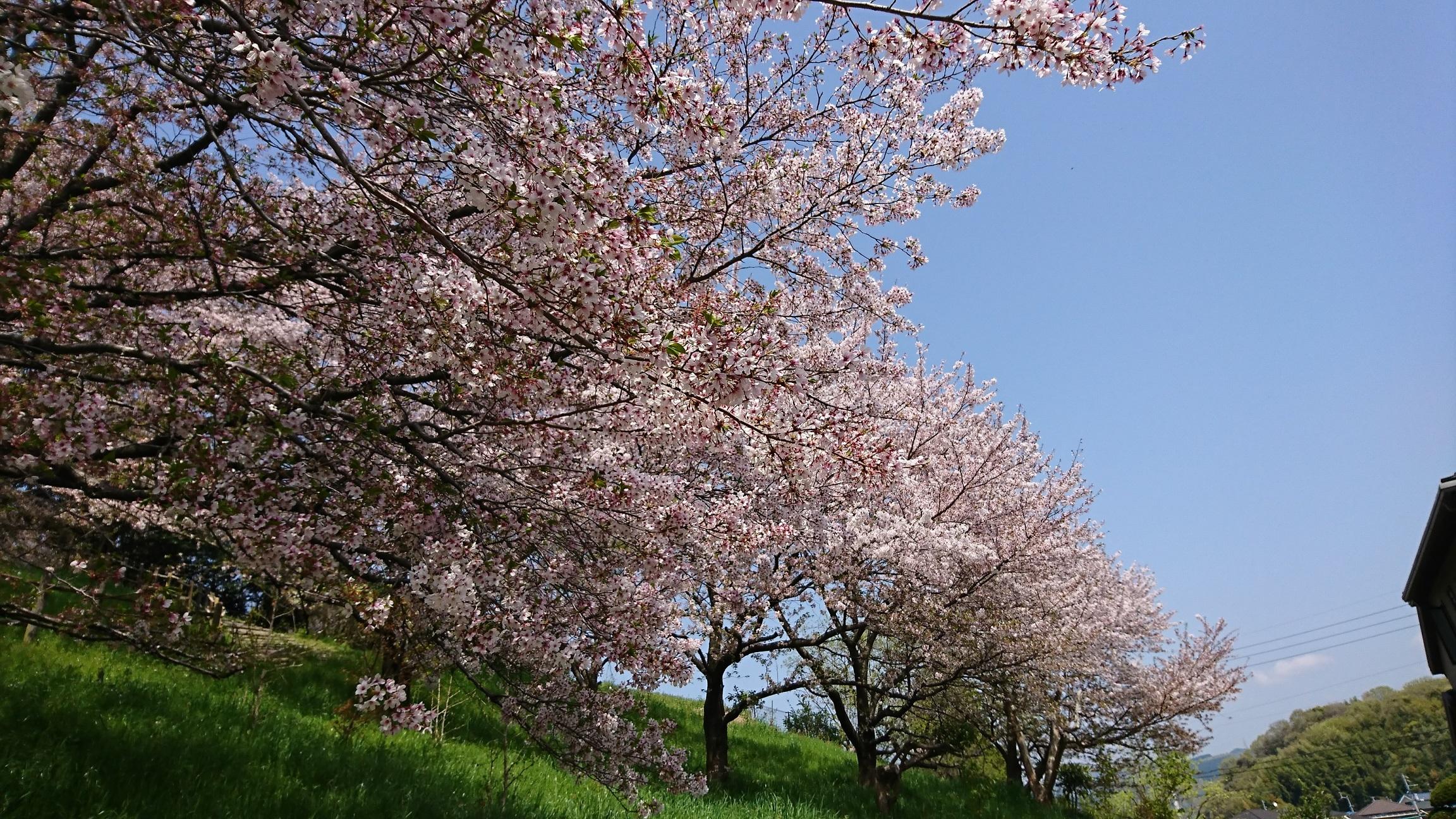 お花見猫の桜2018