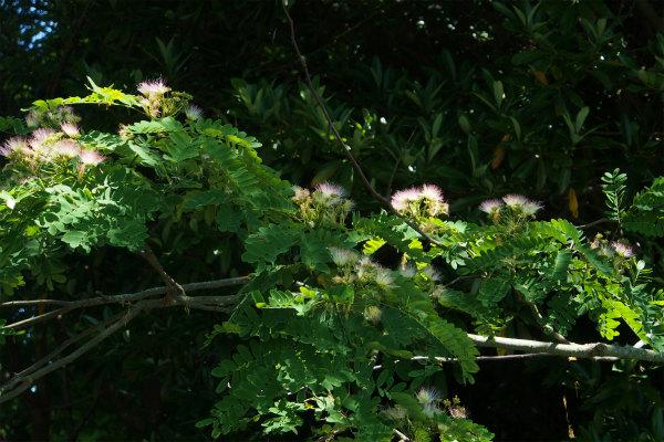 オオバネムノキ ( 大葉合歓の木 )