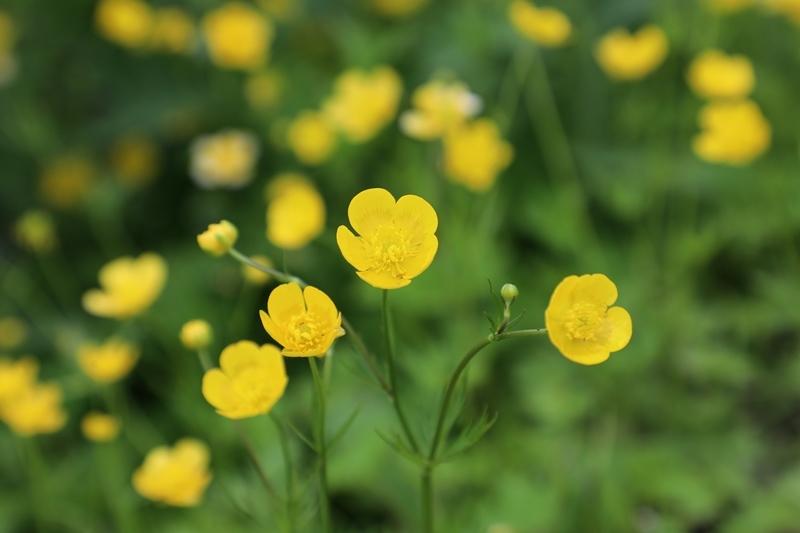 高山植物1180712