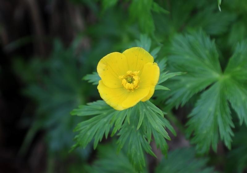 高山植物1180713
