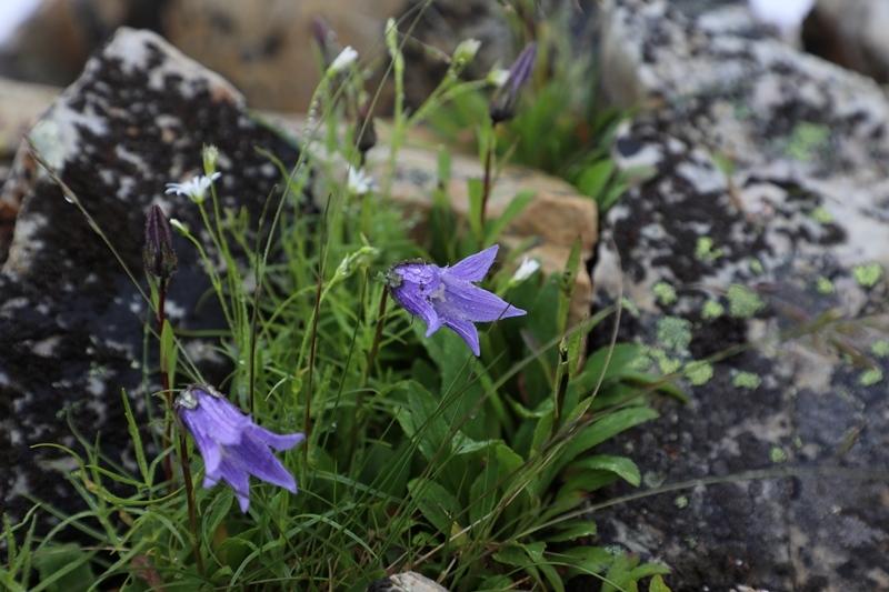 高山植物4180713