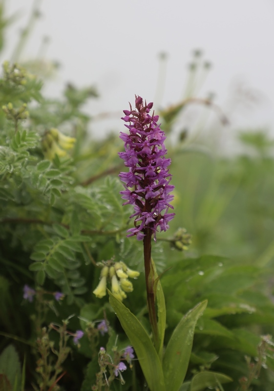 高山植物5180713