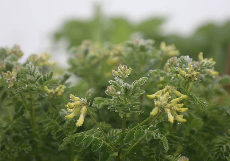高山植物7180713