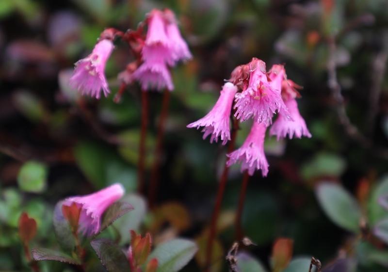 高山植物8180713
