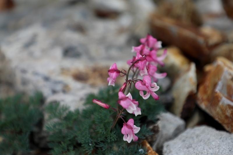 高山植物9180713