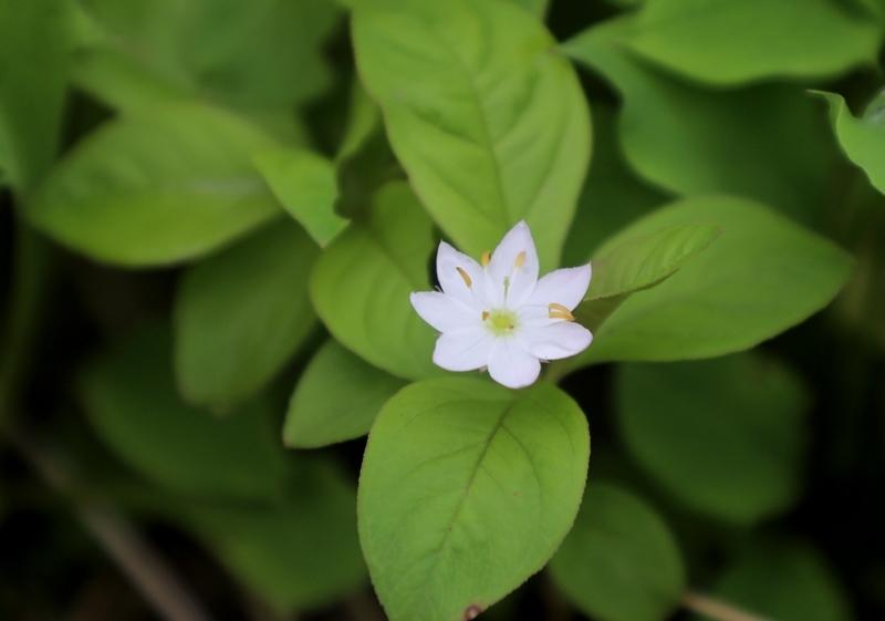 高山植物10180713