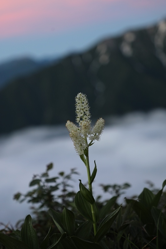 高山植物1180714
