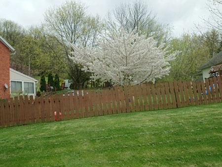 アメリカ 桜