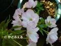 P1040999 一才桜15