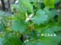 P1050145 グーズベリー15