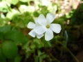 P1050452 白花オキザリス15