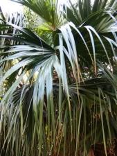 枇榔の木ビロウ