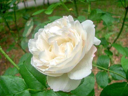 300623_Yurigahara_Rose1.jpg