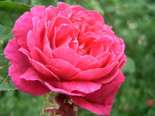 300623_Yurigahara_Rose2.jpg