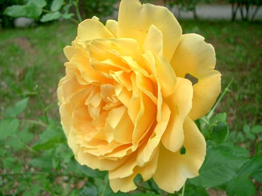 300623_Yurigahara_Rose3.jpg