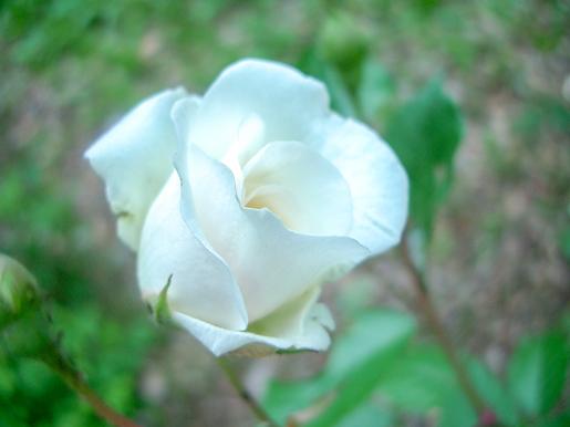 300623_Yurigahara_Rose4.jpg