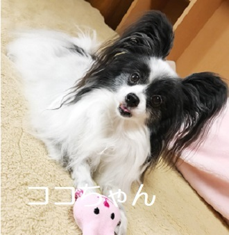 ココちゃん パピヨン