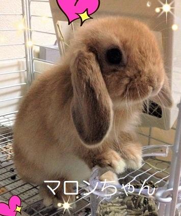 マロンちゃん ウサギ