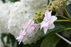 18蓮と紫陽花5