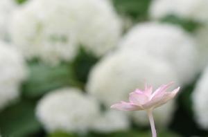18蓮と紫陽花6