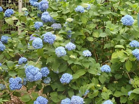 002_convert_20180605114930紫陽花の庭1
