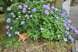 Chappy The Cat and Hydrangea