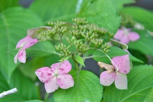 Withering Hydrangea