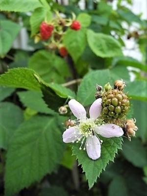 20180616ラズベリーの花